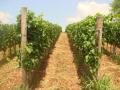 vinograd_golobok2