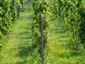 vinograd_strazevica4