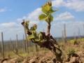 vinograd_strazevica5