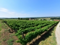 vinograd_strazevica6
