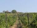 vinograd_umcari8