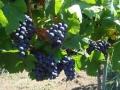 vinograd_umcari9