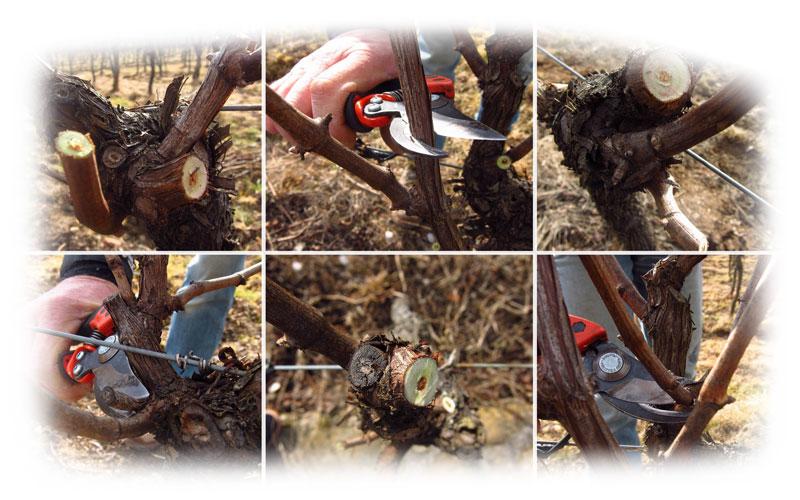 Orezivanje vinove loze