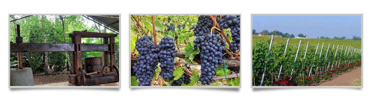 DiBonis vinogradi